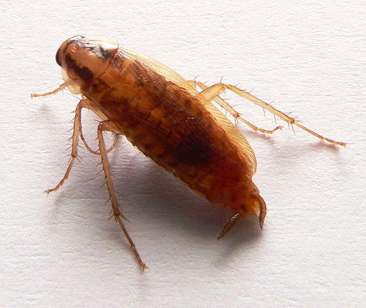 Les gestes à adopter contre les blattes